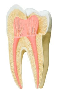 Model of a tooth, as one would find in a dentist's office. Clipping path included.